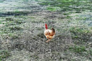 pyramid pen with chicken