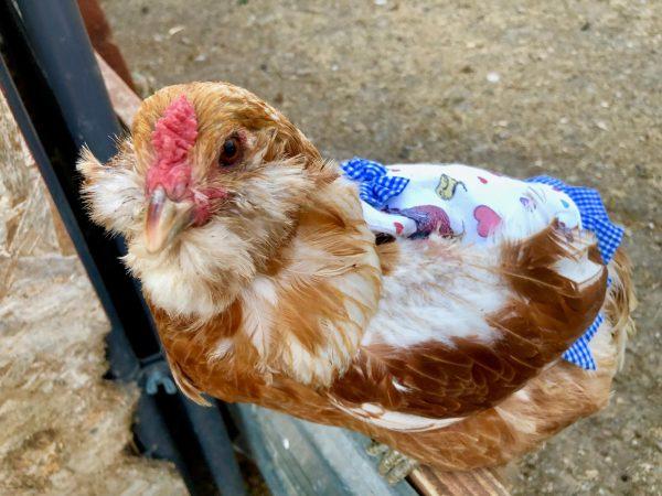 blue apron brown chicken