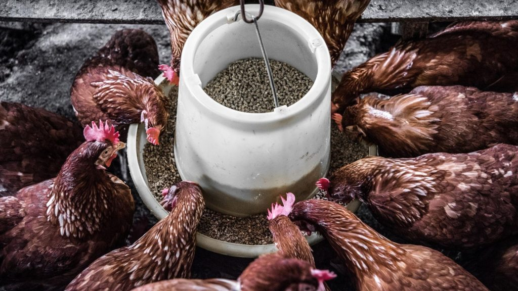 All About Chicken Feed
