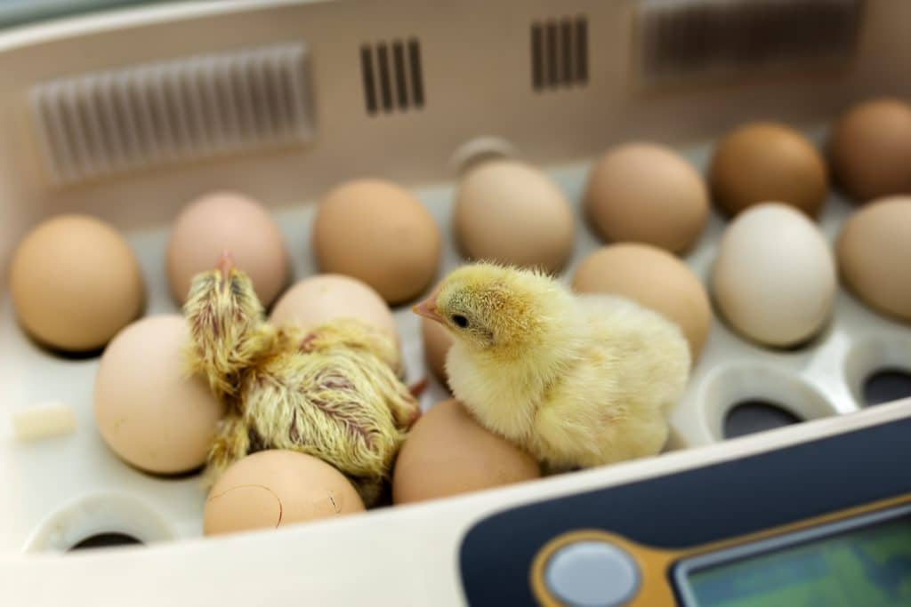 Incubate Chicks